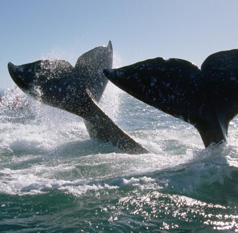 During their migration, the gray whales form groups, which usually consist of two or three animals