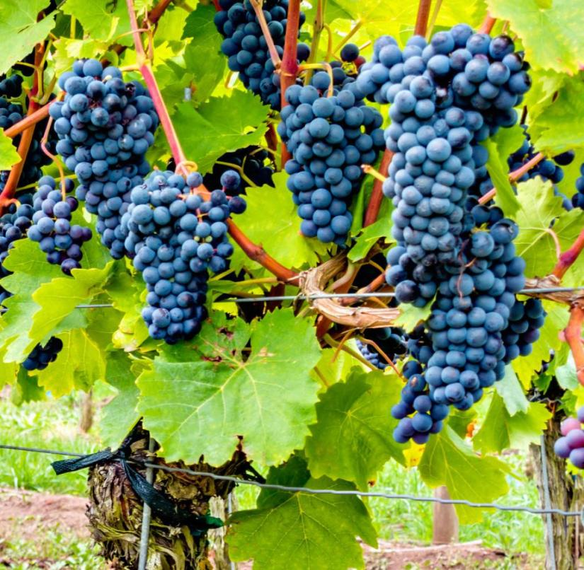More hours of sunshine: Climate change is also affecting viticulture