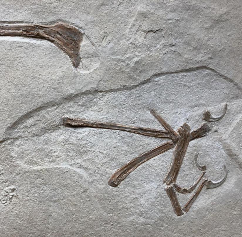 Found in the Altmühltal in Bavaria: the fossilized primeval bird Alcmonavis poeschli, which is around 150 million years old