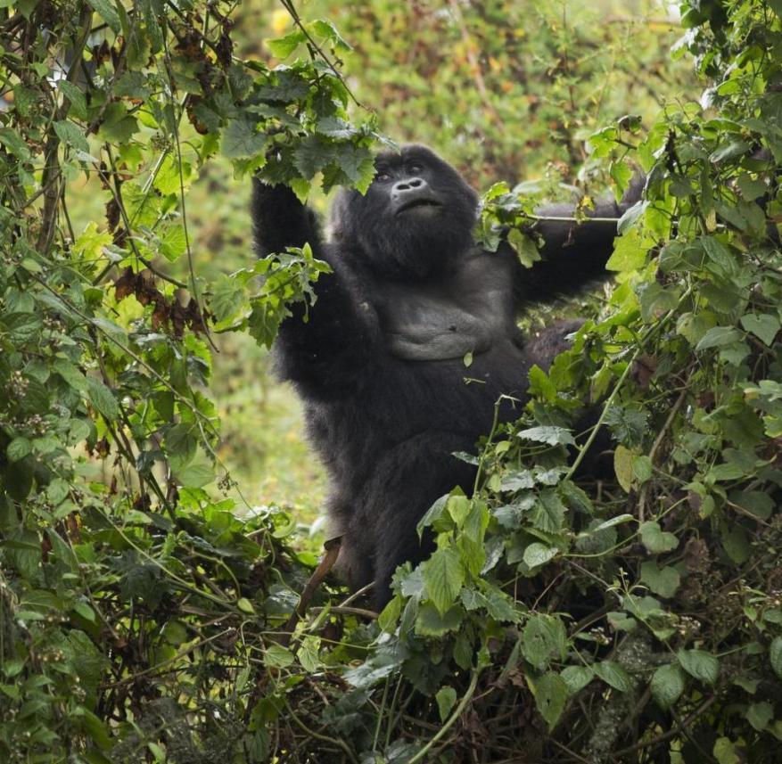 Berggorillas in Ruanda