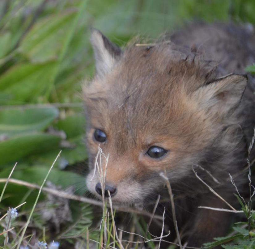 A Fox puppy at the airport Berlin-Brandenburg (BER) is lurking in the Grass