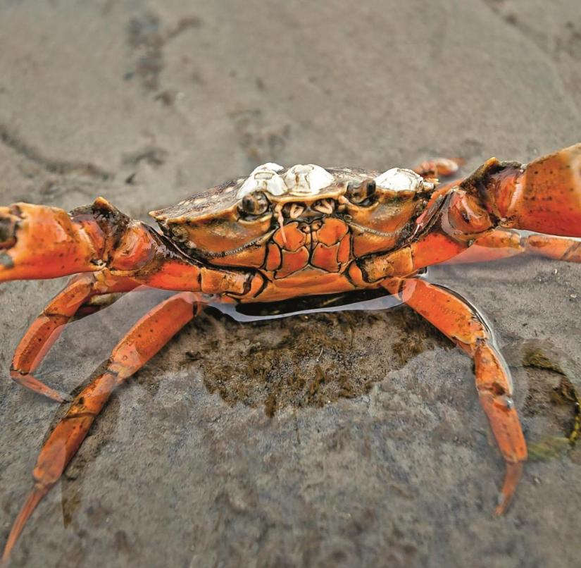 On the North sea beach crabs of the Wadden sea belong to the
