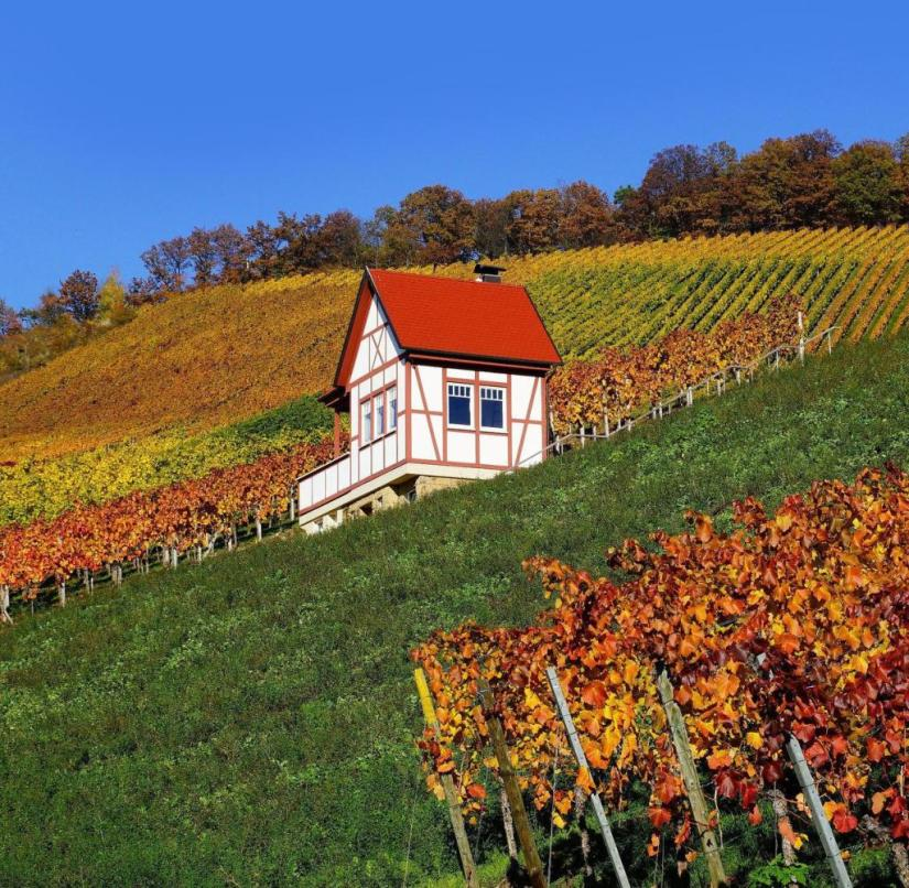 Autumn in Baden-Württemberg: The leaves of the vines shine yellow-red - as here on the Kayberg vineyard in Erlenbach