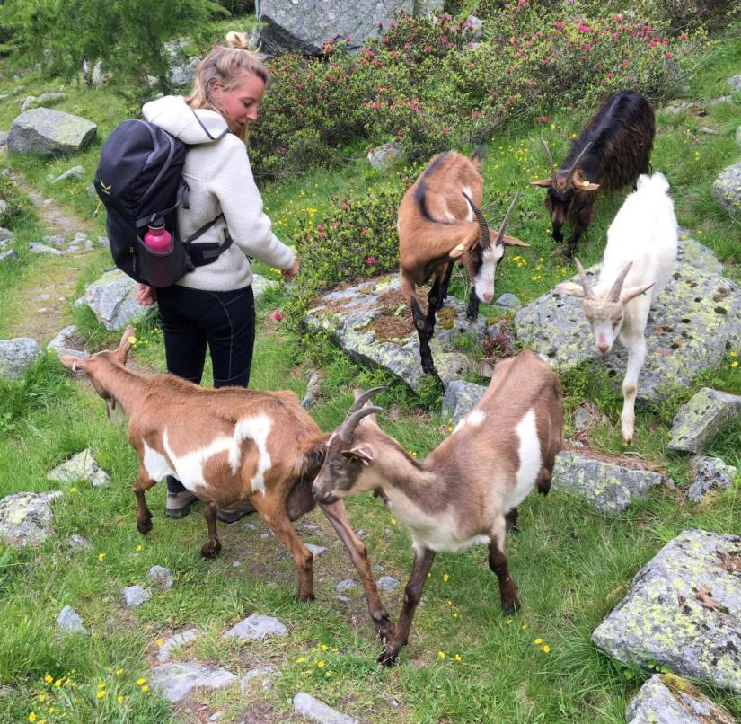 Tyrolean Oberland in Austria: Undisciplined goats and a hiker on the path down to Pfunds
