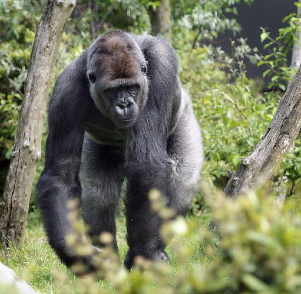 gorilla drama verletzte frau bokito