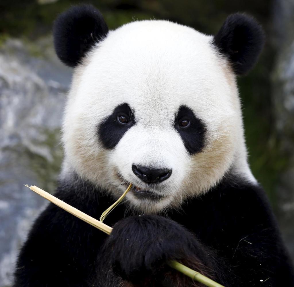Angela Merkel kndigt neue Pandas fr den Berliner Zoo an