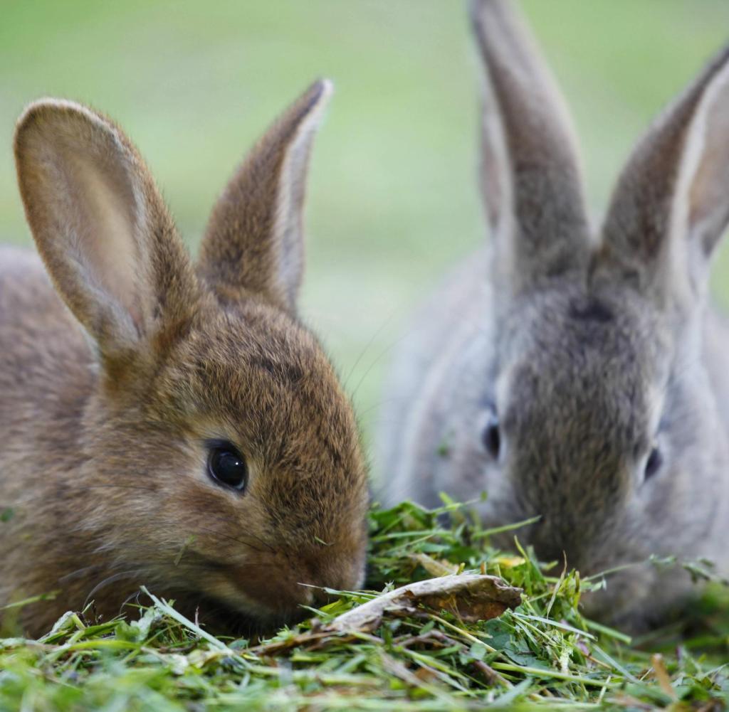 Virusinfektion: Chinaseuche dezimiert deutsche Kaninchenbestände ...