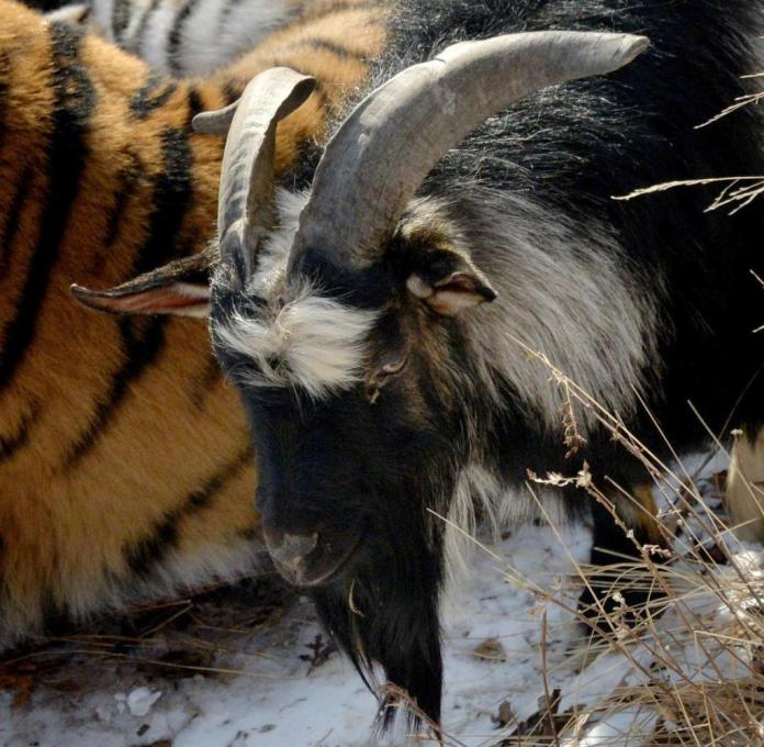 ARCHIVE - 27.11.2015, Russia, Primorye: Amur, a Siberian tiger, and goat Timur live together peacefully in Primorye Safari Park. The Russian goat Timur, known worldwide for his unusual friendship with the tiger, died in the presence of the zoo doctors. (to dpa The tiger was his friend: goat Timur dies in Russian zoo) Photo: Vitaliy Ankov / dpa +++ dpa-Bildfunk +++