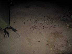 nächtliche Ameiseninvaion neben dem Zelt