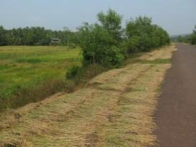 Reis zum Trocknen am Straßenrand