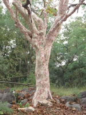 Drei-Farbenbaum: rosa, grün und weiß, je nach (indischer) Jahreszeit
