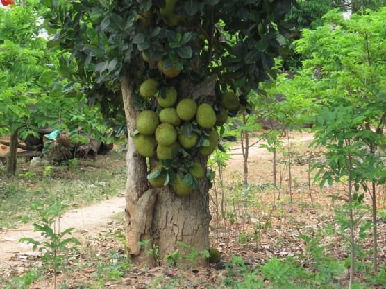 """Jackfruit - """"Stinkfrucht"""""""