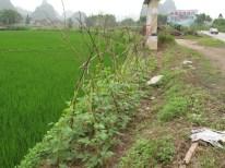 Auch kleinste Flächen werden genutzt- hier Stangenbohnen
