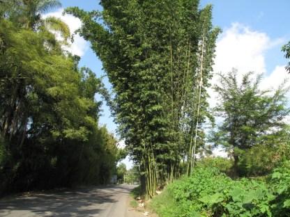 Die ersten Bambusstauden