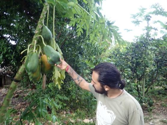 Eigene Papaya