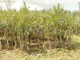 Palmen für Europas Gartenmärkte