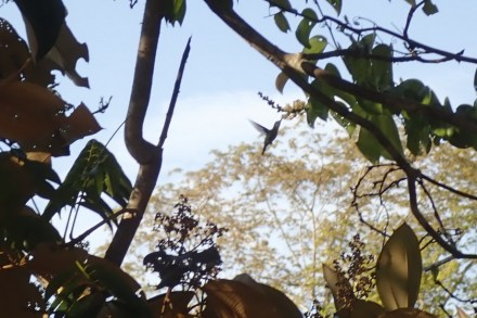 Hummingbird = Kolibri