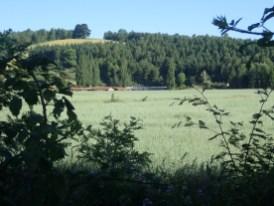 idyllische Haferfelder
