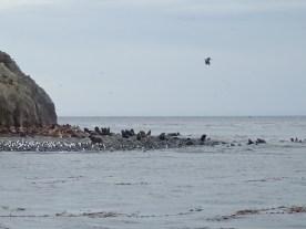 Seelöwen-Herde