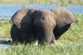 Chobe_Nationalpark_Elefant_1200_800
