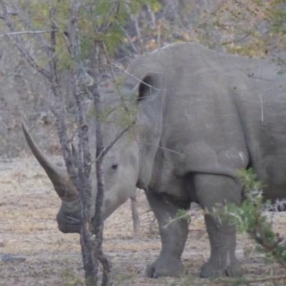 Krueger_rhino