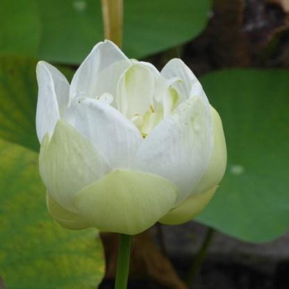 briefgarden_lotos