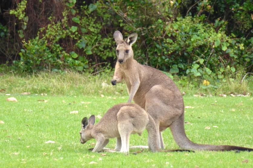 Australien-Tierleben-Kaengurus-Mutter-Kind