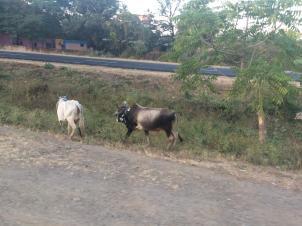 Kühe neben der Straße