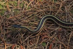 Valley Garter Snake, photo by John Sullivan