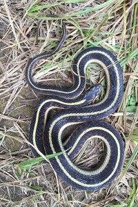 Valley Garter Snake by John Sullivan