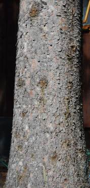 Engelmann spruce Picea engelmannii