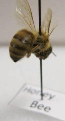 Hymenoptera