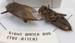 Order Hemiptera – true bugs