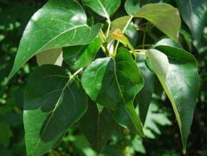 Populous trichocarpa black cottonwood