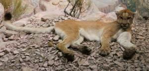 cougar Felis concolor (