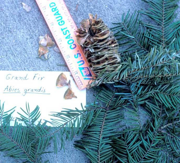 grand fir Abies grandis