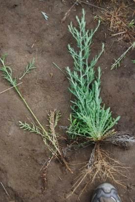 Centaurea diffusa diffuse knapweed