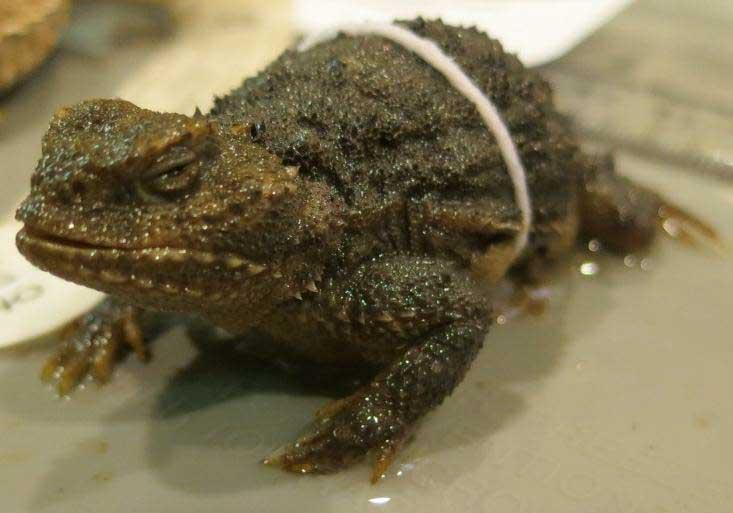 Phrynosoma douglasii Pygmy short-horned lizard