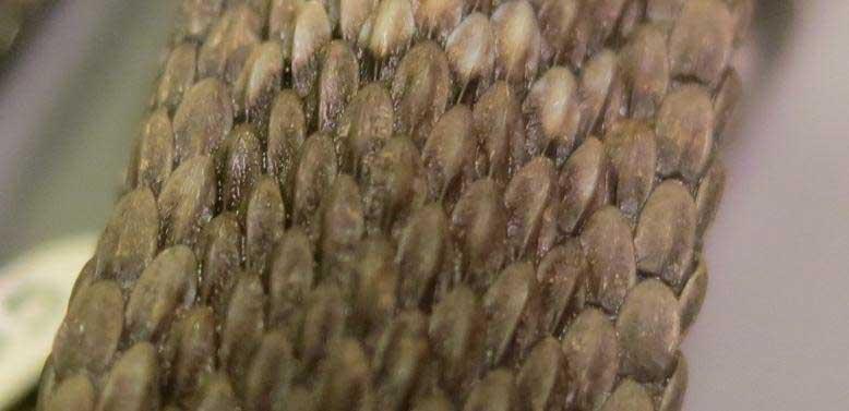 Crotalus o. oreganus Northern Pacific rattlesnake
