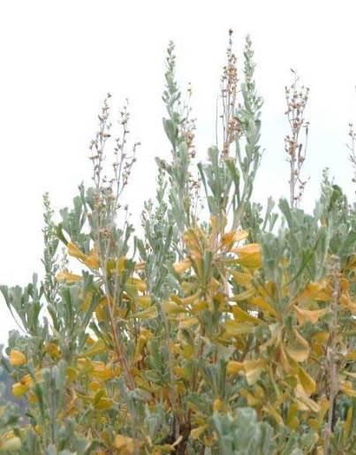 Artemisia tridentata big sagebrush