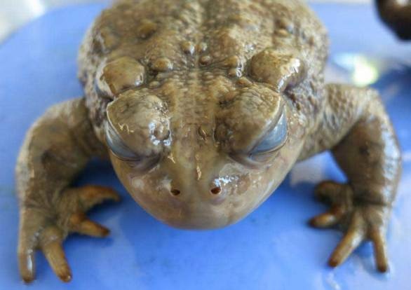 Western toad Anaxyrus boreas
