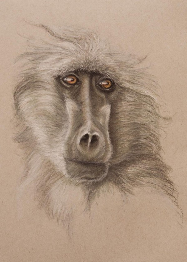 Baboon Pastel Prints - Wendy Beresford Art Wealth Life