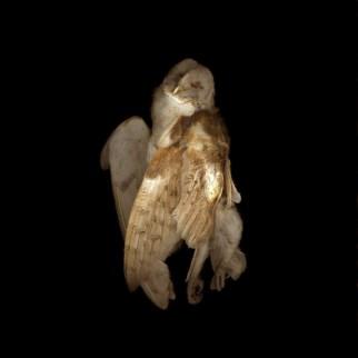 Barn Owl Dancing