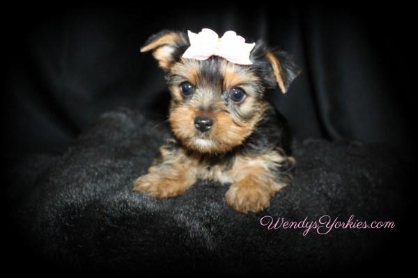 1 Yorkie Puppy 11 Week Ready Milton - Year of Clean Water