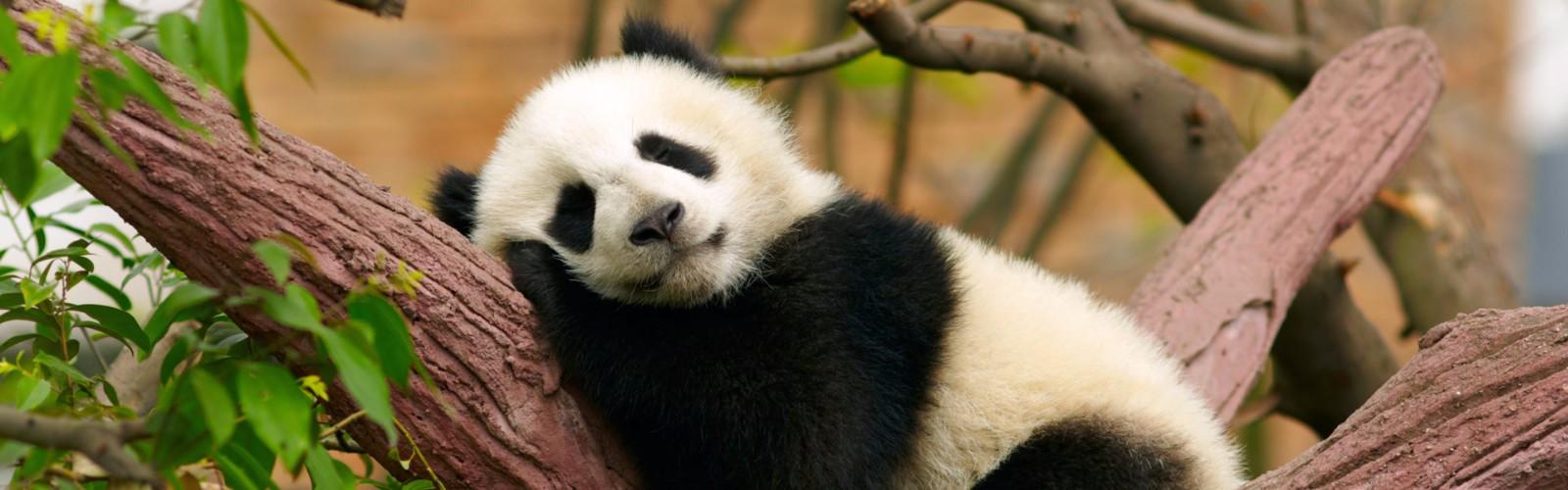 hight resolution of chongqing zoo and panda house