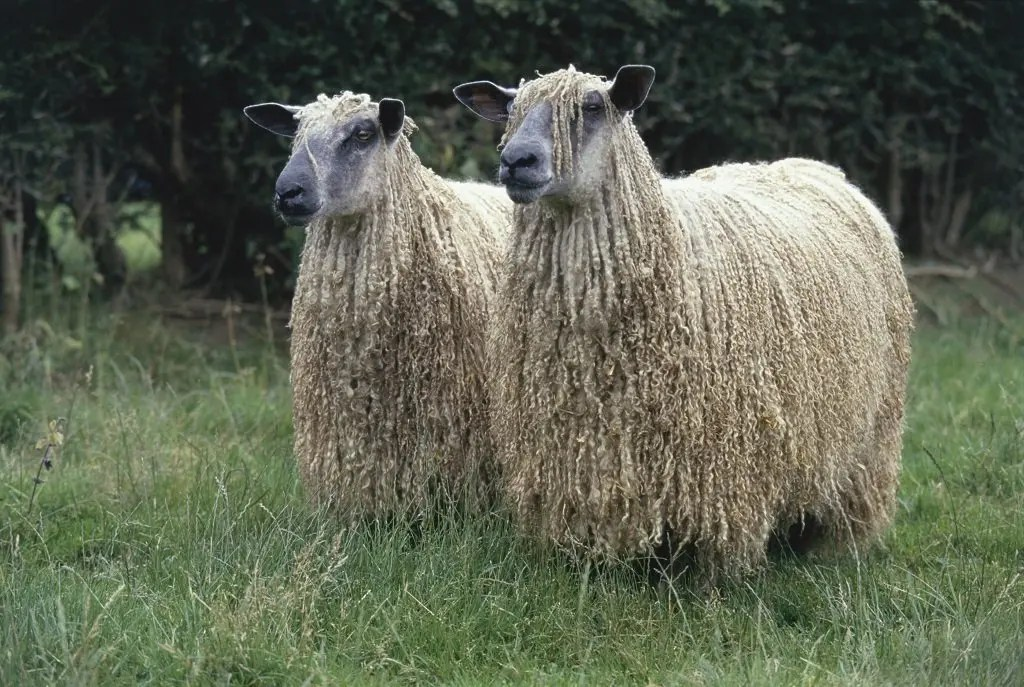 Photo BWMB Wensleydale Sheep