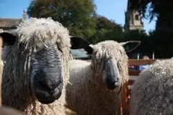 Masham Sheep Fair, Wensleydale Sheep