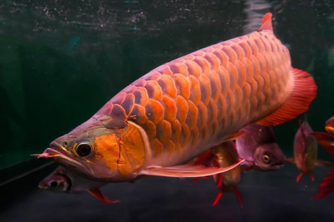 華人偷偷運了26條亞洲龍魚回加拿大,結果...(圖)