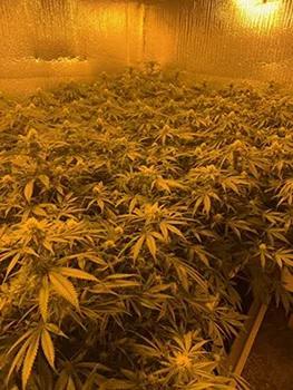 种植上千万的非法大麻 9华人被捕