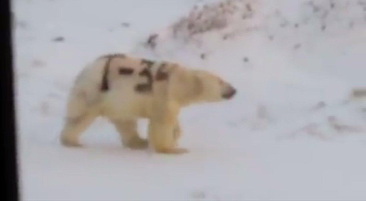北极熊身上遭涂两个大字 俄学者:不至于饿死(图)